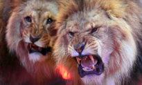 Đang diễn xiếc, ba con sư tử đột nhiên quay sang đánh nhau khiến khán giả hoảng sợ