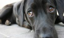 Chó bộc lộ cảm xúc qua đôi mắt như thế nào?