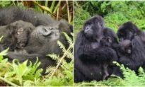 Động vật cũng có 'vú em': Cô khỉ đột này rất dịu dàng và 'dỗ trẻ' siêu chuyên nghiệp