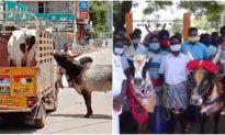 Bạn bị mang đi bán, chú bò ở Ấn Độ đuổi theo xe để 'đòi lại bạn'