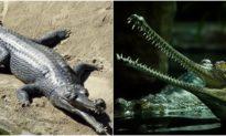 Loài cá sấu khổng lồ siêu hiếm nổi tiếng... nhút nhát
