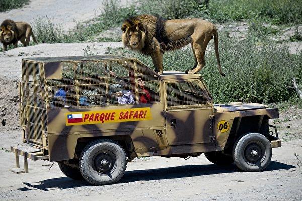 Xuống xe ở công viên safari cẩn thận kẻo 'thịt nát xương tan' (clip)