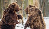 Gấu nâu Trung Quốc và Nga đánh nhau kịch liệt tranh giành lãnh thổ ở biên giới?