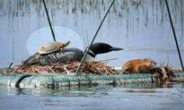 Tình bạn đáng yêu: Rùa con leo lên lưng chim lặn mỏ đen, cả hai cùng thong thả... tắm nắng