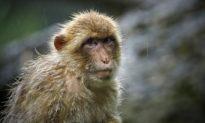 Bác sĩ thú y ở Bắc Kinh chết vì virus Monkey B - chủng virus có tỷ lệ tử vong 70-80%