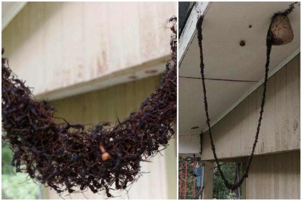 Biệt đội kiến xây cầu trên không để 'cướp' tổ ong