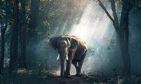 'Vạn vật có linh' - Người quản tượng chết, chú voi đi bộ 25 km đến 'chia buồn'
