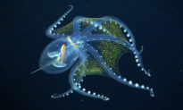 Bạch tuộc thủy tinh: Vẻ đẹp đại dương huyền bí hay sinh vật của xứ Avatar?