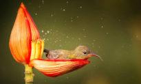 'Ăn no rồi lại tắm nắng': Sau khi hút mật no say, chim sẻ nhàn nhã 'nghỉ ngơi' trong búp hoa