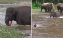 Thấy người chăm sóc 'có vẻ đuối nước', voi con vội lao xuống sông giải cứu
