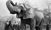 'Voi sát nhân Mary' - con voi duy nhất bị treo cổ trong lịch sử nhân loại (Radio)