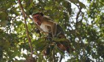 Kẻ trộm 'nguy hiểm': Khỉ Ấn Độ giật lấy mẫu máu của bệnh nhân Covid-19, chuyên gia lo lắng virus lây lan