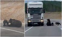 Gấu mẹ dẫn con xuống đường cao tốc 'xin ăn'
