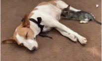 'Tình mẫu tử không có biên giới': Chó mẹ cho mèo con mồ côi bú sữa