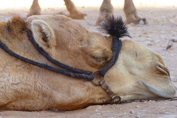 Người chủ cảnh sát qua đời, lạc đà buồn bã bỏ ăn