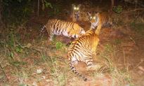 Hổ đực 'nhận nuôi' 4 hổ con sau khi hổ mẹ qua đời