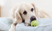 Tiếng rên rỉ của chó cưng -cách nhận biết cảm xúc và ứng xử
