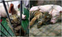 'Công sinh không bằng công dưỡng': Lợn mẹ cho hổ con bú sữa và kết cục bất ngờ