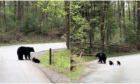 'Theo mẹ nào, các con': Gấu mẹ dắt 4 con qua đường thật đáng yêu