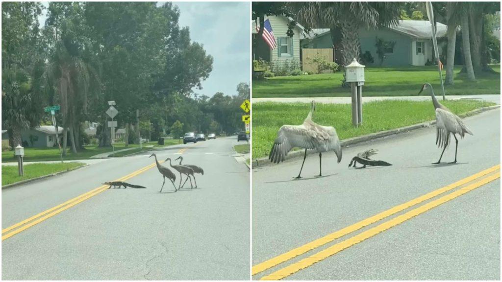 'Cá sấu ơi, bạn đi đâu đấy?' - Gia đình sếu chân dài 'hộ tống' cá sấu nhỏ băng qua đường