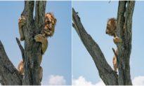 Thấy đàn trâu rừng 'hùng hổ' đi đến, sư tử đơn độc nhảy lên cây tránh đường
