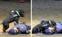 Thấy cảnh sát 'bất tỉnh' trên mặt đất, chú chó nghiệp vụ lập tức thực hiện 'hồi sức tim phổi'