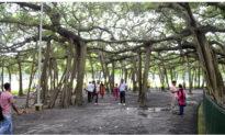 Cây đa to hơn sân bóng, có tán cây như một khu rừng