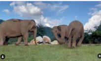 'Đi theo tớ nào': Chú voi mù được bạn tận tình dẫn đường đi kiếm ăn (video)