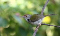 'Thợ xây chuyên nghiệp': Con chim xây tổ 'điêu luyện' dùng mỏ như 'chiếc kim' để đan lá