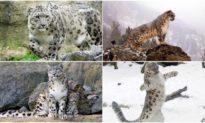 Nghệ thuật ngụy trang: Bạn có thấy con báo tuyết đang ẩn thân ở đâu trên vách đá không?