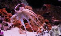 Tại sao bạch tuộc rất thông minh?