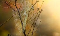 Tinh hoa Đông y: Dùng mạng nhện bám bụi và giấm để trị bệnh