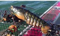 Bắt được tôm hùm khổng lồ 'mang bầu', ngư dân quyết định 'thả nó về biển'