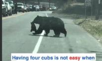 (Video) Gấu mẹ 'chật vật' đưa các con băng qua đường, hàng dài xe ô tô kiên nhẫn 'chờ đợi'