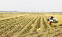 Gỡ khó ách tắc lưu thông trong tiêu thụ lúa gạo tại ĐBSCL