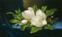 Ba bông hoa mộc lan phương Nam xinh đẹp