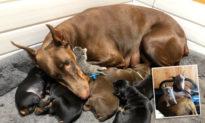 Chó mẹ nhận mèo con bị bỏ rơi làm 'con nuôi' và chăm sóc mèo như chó con