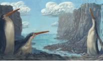 Phát hiện hóa thạch chim cánh cụt khổng lồ chân dài tại New Zealand