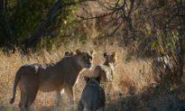 Đột nhập vào khu bảo tồn săn trộm tê giác, 3 kẻ bị sư tử giết chết