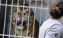 Đừng bao giờ quay lưng lại với những con vật hung dữ như hổ, sư tử và báo