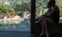 Vườn thú Mỹ: 6 con sư tử và 3 con hổ có xét nghiệm dương tính với COVID-19