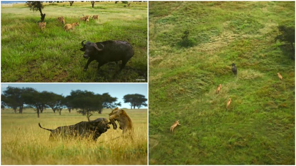 Video:Đàn sư tử vây bắt trâu rừng đơn độc và màn phản đòn ngoạn mục khiến sư tử 'hoảng hồn' bỏ chạy