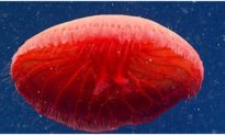 """Loài mới """"sứa đỏ như máu"""" xuất hiện dưới Đại Tây Dương"""
