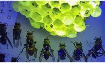 Tổ ong vò vẽ Việt Nam tỏa sáng kỳ lạ dưới ánh đèn UV