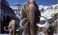 Loài voi ma mút lông cừu tuyệt chủng 10.000 năm trước sắp được hồi sinh?