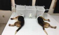 Tổ chức Mỹ vạch trần Fauci tài trợ cho các thí nghiệm ngược đãi động vật