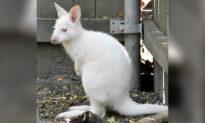 Chuột túi con màu trắng quý hiếm lần đầu tiên ra khỏi túi của mẹ ở vườn thú Manhattan