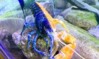 Đóng cửa vì dịch Covid-19, Thuỷ cung bán lại con tôm hùm màu xanh cam cực kỳ quý hiếm