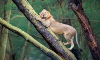 Bị đàn trâu rừng truy đuổi ráo riết, sư tử hoảng hồn leo lên cây chạy trốn