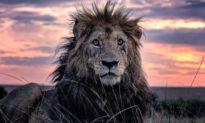 Con sư tử già nhất khu bảo tồn: Từ 'Vua của muôn loài' trở thành 'kẻ già cỗi đơn độc'